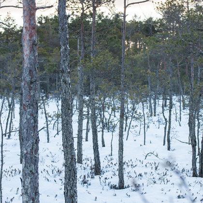 Myrland i vinter